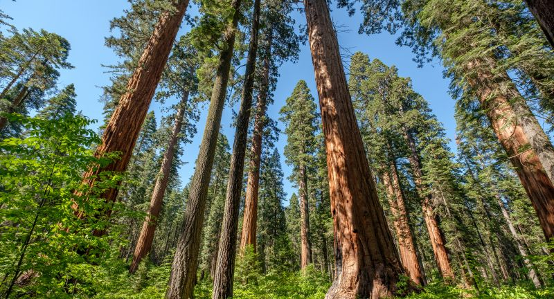 sequoia, redwood, tree, forest, landscape, giant, woods, california, park, nature, sierra, ancient, big, tall, pine, america, wood, old, green, sky, usa, outdoors, travel, nobody, Calaveras, Calaveras Big Trees, State Park, evergreen, sequoia, redwood, tree, forest, landscape, giant, woods, california, park, nature, sierra, ancient, big, tall, pine, america, wood, old, green, sky, usa, outdoors, travel, nobody, calaveras, calaveras big trees, state park, evergreen